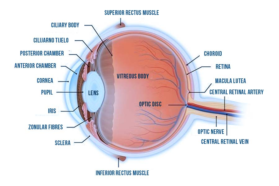 human eye parts - We see thanks to a small part in the centre of the eye, on the retina, called macula or macula lutea